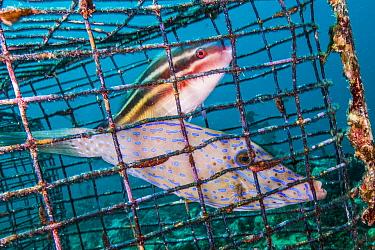 Scrawled Filefish (Aluterus scriptus) and juvenile Parrotfish (Scaridae) caugh in fish trap, Saba Island, Caribbean