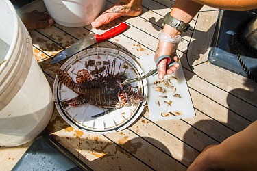 Common Lionfish (Pterois volitans) gut being analyzed by scientist, Redonda Island, Caribbean