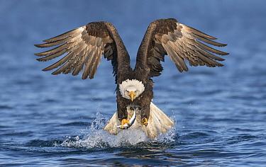Bald Eagle (Haliaeetus leucocephalus) fishing, Alaska