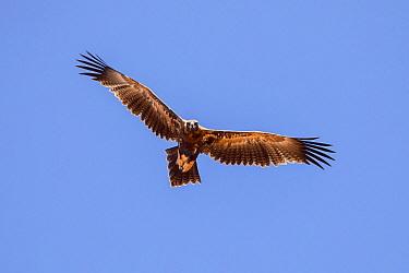 Wedge-tailed Eagle (Aquila audax) flying, Queensland, Australia