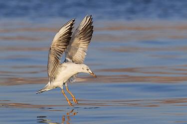 Slender-billed Gull (Larus genei) landing, Eilat, Israel