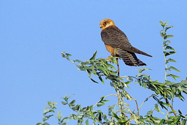 Red-footed Falcon (Falco vespertinus) female, Danube Delta, Romania