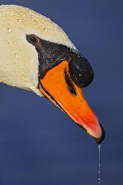 Mute Swan (Cygnus olor), Baden-Wurttemberg, Germany