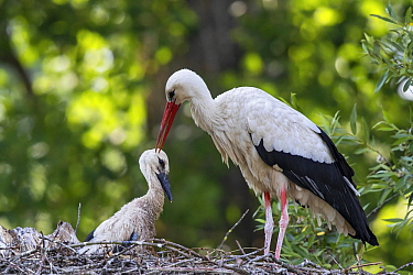 White Stork (Ciconia ciconia) parent with chick in nest, Baden-Wurttemberg, Germany