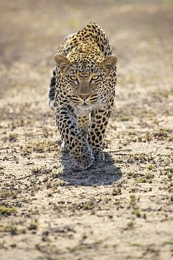 Leopard (Panthera pardus) male stalking, Sabi-sands Game Reserve, South Africa