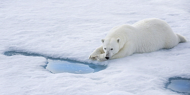 Polar Bear (Ursus maritimus) waiting at breathing hole for seals, Svalbard, Norway