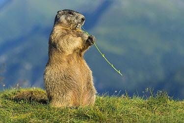 Alpine Marmot (Marmota marmota) feeding on flowers, Hohe Tauern National Park, Austria