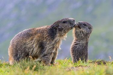 Alpine Marmot (Marmota marmota) parent with young feeding, Hohe Tauern National Park, Austria