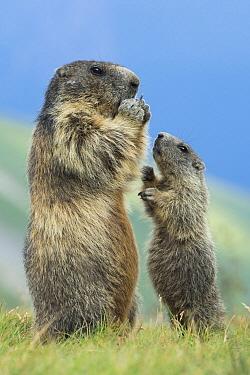 Alpine Marmot (Marmota marmota) parent feeding with begging young, Hohe Tauern National Park, Austria