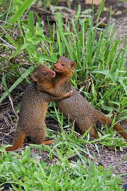 Dwarf Mongoose (Helogale parvula) pair play-fighting, Serengeti National Park, Tanzania