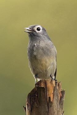 White-eyed Slaty-Flycatcher (Dioptrornis fischeri) calling, Kakamega Forest Reserve, Kenya