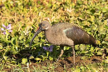 Hadada Ibis (Bostrychia hagedash), Lake Baringo, Kenya