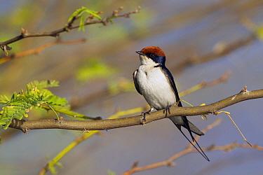 White-tailed Swallow (Hirundo smithii), Lake Baringo, Kenya