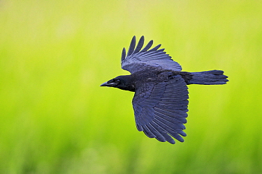 Carrion Crow (Corvus corone) flying, Baden-Wurttemberg, Germany
