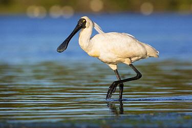 Royal Spoonbill (Platalea regia) wading, Victoria, Australia
