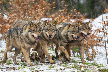 European Wolf (Canis lupus) pack, Lower Saxony, Germany