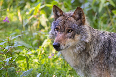 European Wolf (Canis lupus), Lower Saxony, Germany