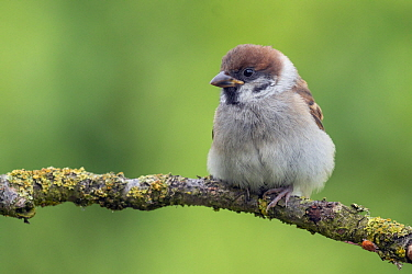 Eurasian Tree Sparrow (Passer montanus) juvenile, Lower Saxony, Germany