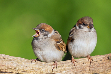 Eurasian Tree Sparrow (Passer montanus) juvenile calling, Lower Saxony, Germany