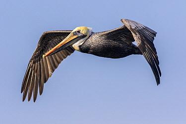Brown Pelican (Pelecanus occidentalis) flying, Escuintla, Guatemala