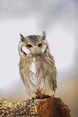 Southern White-faced Owl (Ptilopsis granti), native to Africa