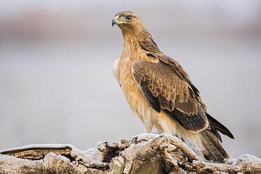 Bonelli's Eagle (Hieraaetus fasciatus) juvenile, Castile-La Mancha, Spain