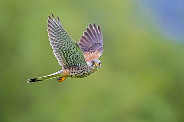 Eurasian Kestrel (Falco tinnunculus) male flying, Baden-Wurttemberg, Germany