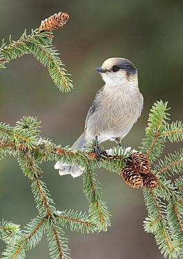 Canada Jay (Perisoreus canadensis), Alaska