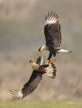 Northern Caracara (Caracara cheriway) pair fighting, Texas