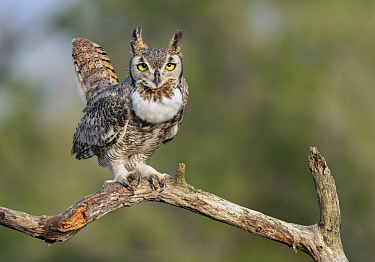 Great Horned Owl (Bubo virginianus), Texas