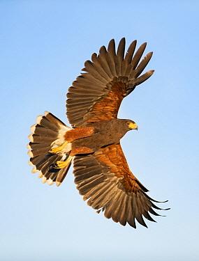 Harris' Hawk (Parabuteo unicinctus) flying, Texas