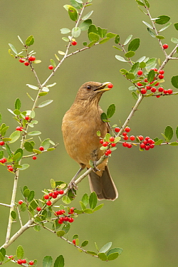 Clay-colored Thrush (Turdus grayi) feeding on berries, Texas