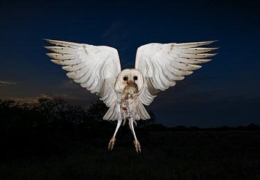 Barn Owl (Tyto alba) flying with rodent prey, Texas
