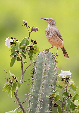 Curve-billed Thrasher (Toxostoma curvirostre), Texas