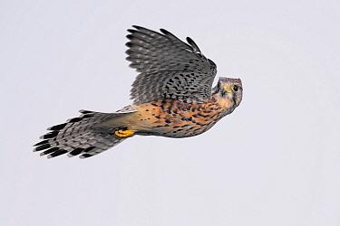 Eurasian Kestrel (Falco tinnunculus) hovering, Dronten, Flevoland, Netherlands