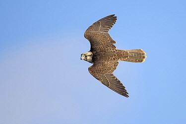 Lanner Falcon (Falco biarmicus) male flying, Veluwe, Gelderland, Netherlands