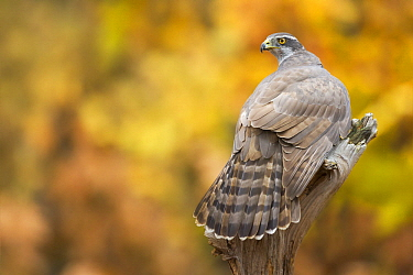 Northern Goshawk (Accipiter gentilis) in autumn, Netherlands