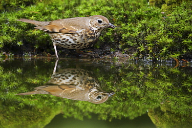 Song Thrush (Turdus philomelos) at pond, Gelderland, Netherlands