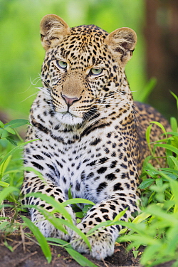 Leopard (Panthera pardus), Masai Mara, Kenya