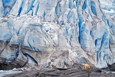 Polar Bear (Ursus maritimus) near glacier, Nordenskioldbreen Glacier, Spitsbergen, Svalbard, Norway