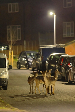 Fallow Deer (Dama dama) females in city at night, London, England