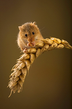Harvest Mouse (Micromys minutus) feeding on wheat, native to Europe