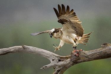 Osprey (Pandion haliaetus) landing with fish prey, Cairngorms National Park, Scotland