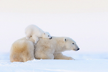 Polar Bear (Ursus maritimus) mother and cub, Wapusk National Park, Manitoba, Canada
