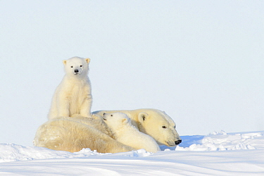 Polar Bear (Ursus maritimus) mother and cubs, Wapusk National Park, Manitoba, Canada
