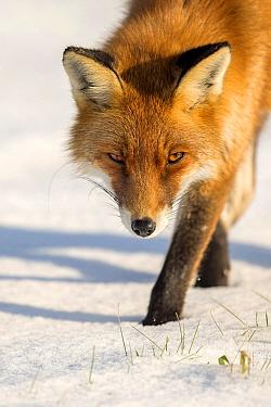Red Fox (Vulpes vulpes) in winter, Dronten, Flevoland, Netherlands