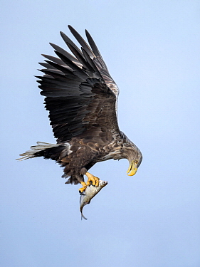 White-tailed Eagle (Haliaeetus albicilla) flying with fish prey, Oderdelta, Stepnica, Poland