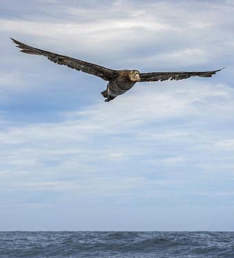 Northern Giant Petrel (Macronectes halli) flying, Kaikoura, New Zealand