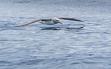 Salvin's Albatross (Thalassarche salvini) flying low over ocean surface, Kaikoura, New Zealand