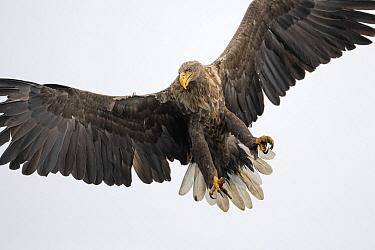 White-tailed Eagle (Haliaeetus albicilla) flying, Oderdelta, Stepnica, Poland